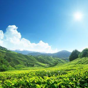 10725270 - tea plantation cameron highlands, malaysia