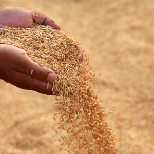 40879979 - hand holding golden paddy seeds in indian subcontinent